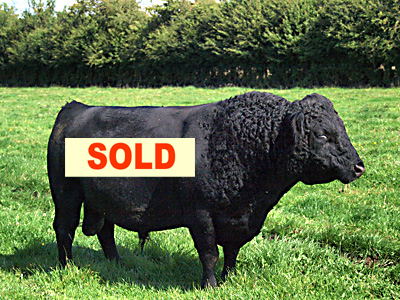 Dexter Bull for sale